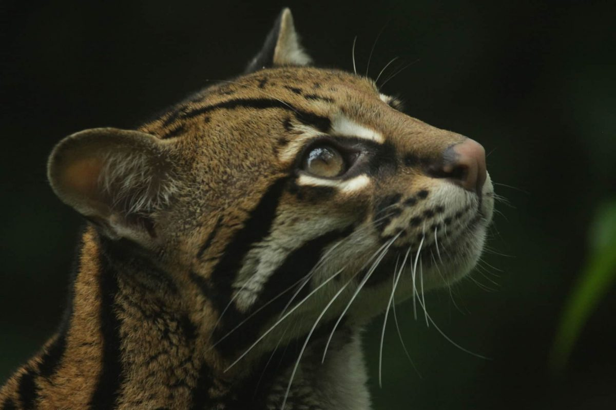 felinos-mashpi-ocelot-1200x800.jpg