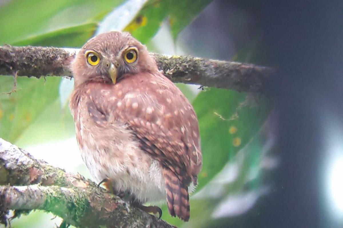 Andean-Pygmy-Owlopt-1200x800.jpg
