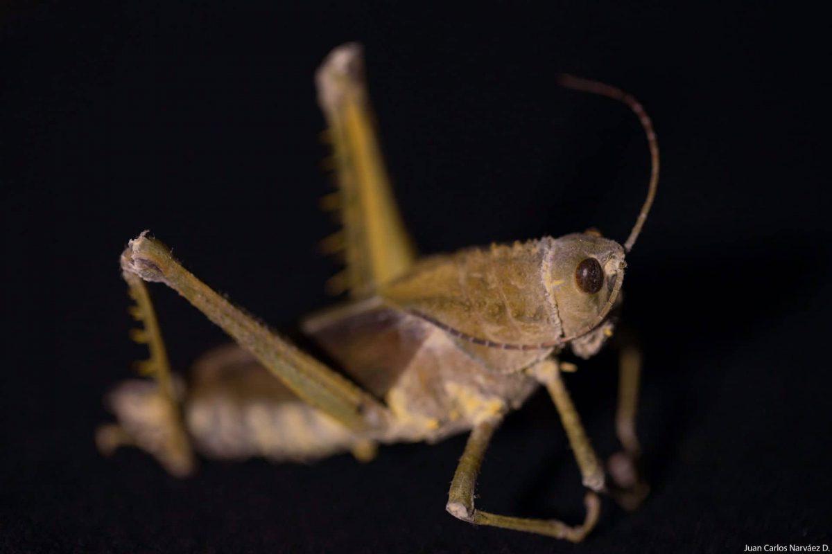 Cordyceps_Saltamontes-1200x800.jpg