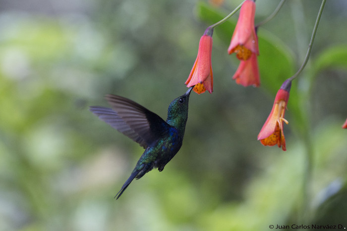 A hummingbird feeds in the Ecuador cloud forest