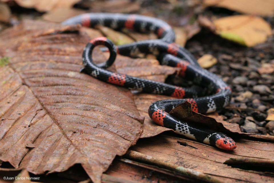 coral-snake-mashpi-serpiente