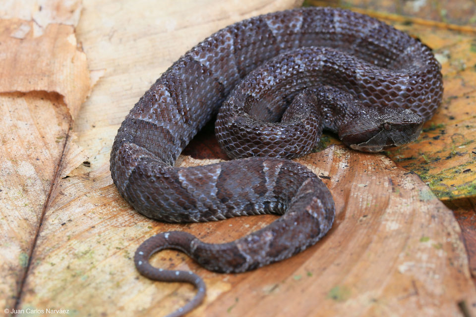 curruncha-snake-mashpi-serpiente
