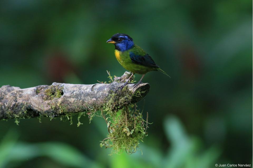 tanager-bird-mashpi-Tangara-dorso-musgoso