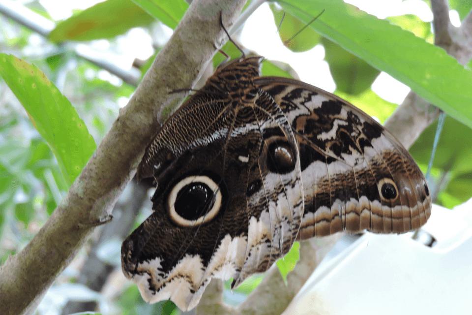 owl butterfly Mashpi Lodge caligo mariposa buho