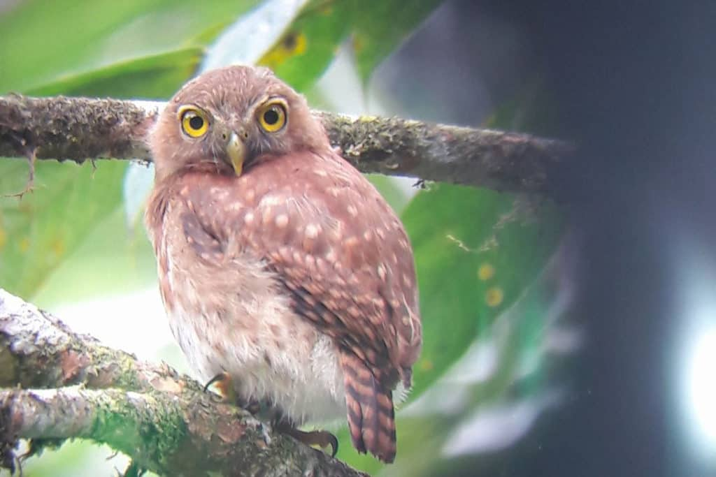 Andean-Pygmy-Owlopt-1024x683.jpg