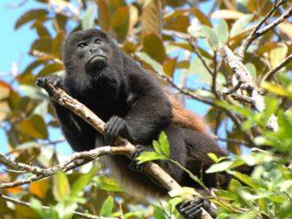 El mono que canta