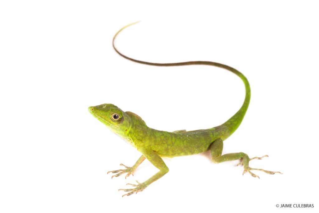 lizard-mashpi-anolis-chloris-1024x683.jpg