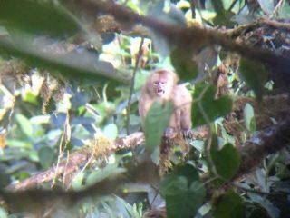 Mono Capuchino Blanco