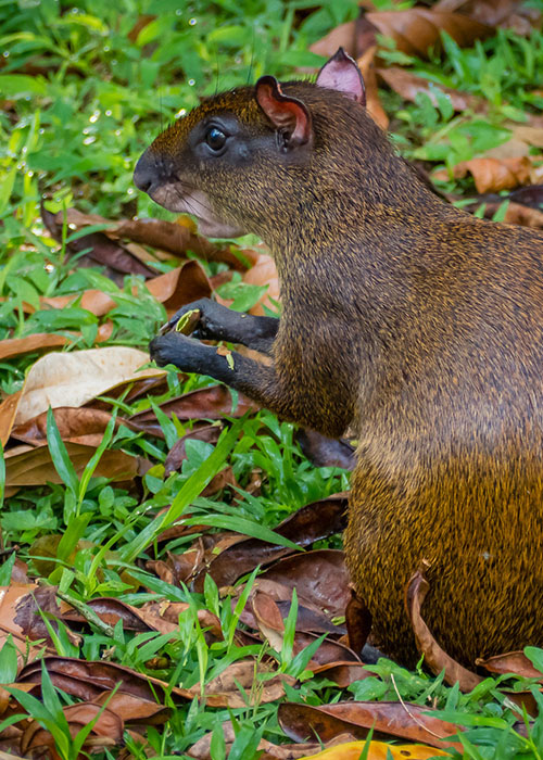 Agouti in Mashpi Lodge