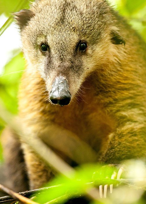 Ring-Tailed Coati in Mashpi Lodge