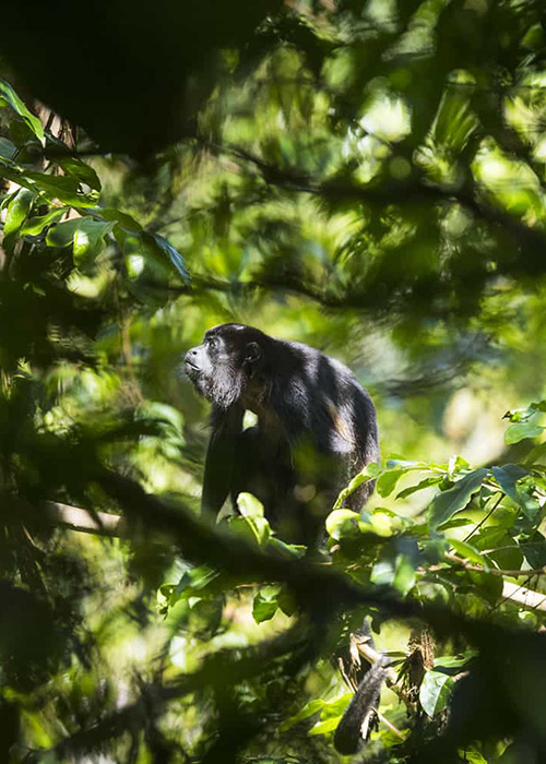 Mantled Howler Monkey in Mashpi