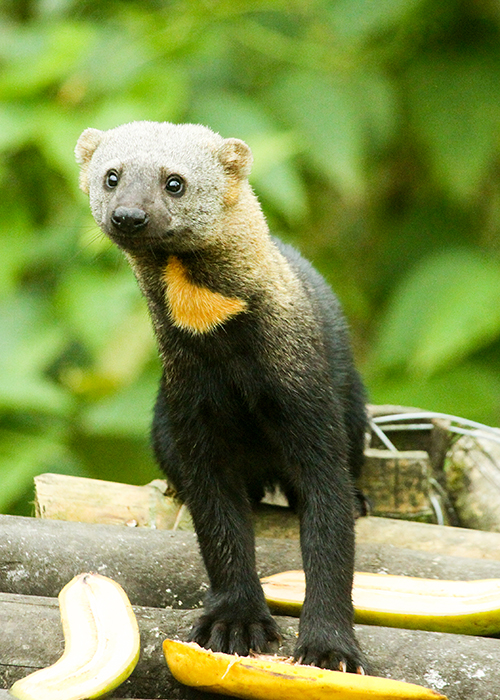 Tayra in Mashpi Lodge