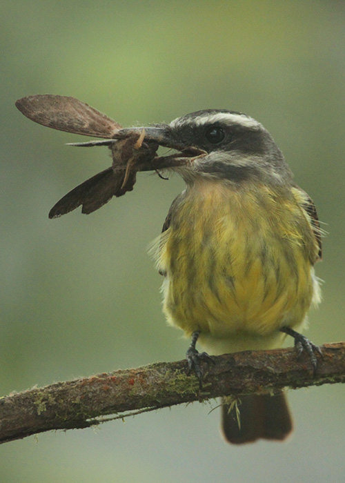 Tropical Kingbird in Mashpi Lodge