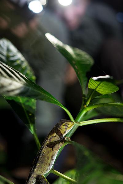 Lizard at Luminous Trail