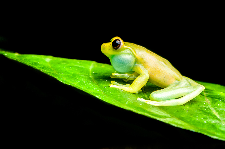 Mashpi Torrenteer Frog