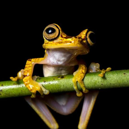 Chachi tree frog