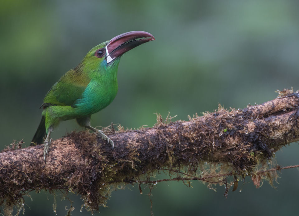 Crimson rumped toucanet in Mashpi Lodge