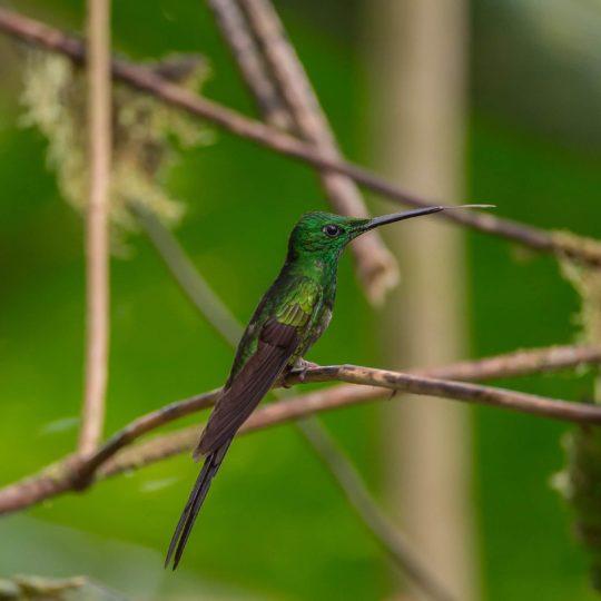 Empress brilliant hummingbird