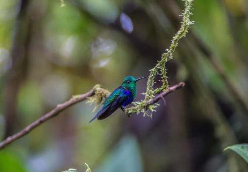 Green crowned woodnymph hummingbird
