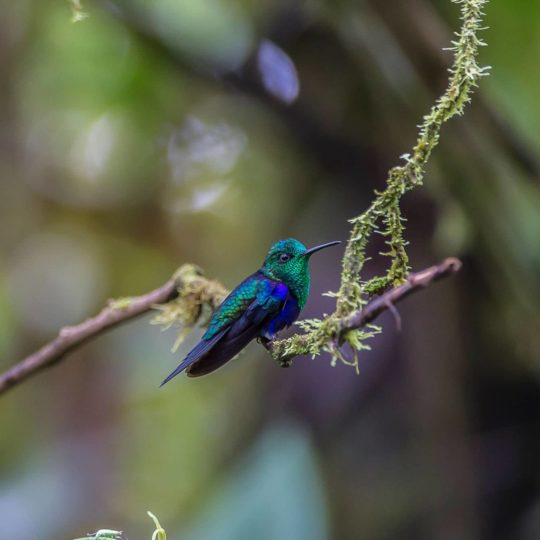 Green crowned woodnymph hummingbird