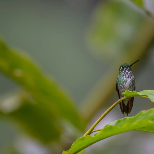 Green white hummingbird