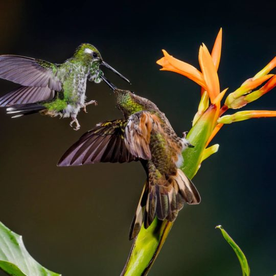 Buff-tailed coronet hummingbirds