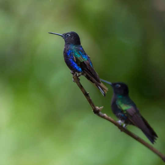 Hummingbirds at Mashpi Lodge