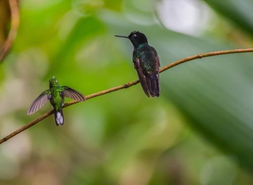 Hummingbirds at Mashpi forest