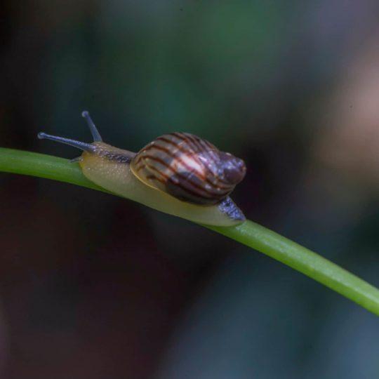 Mashpi forest snail