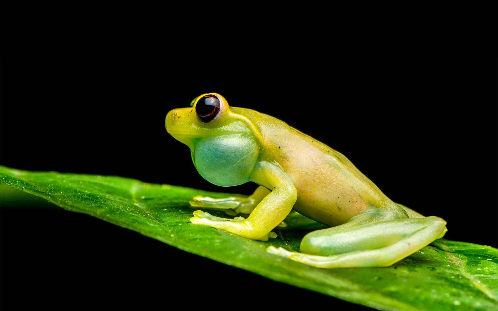 Mashpi Lodge frog