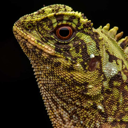 Lizard from Mashpi