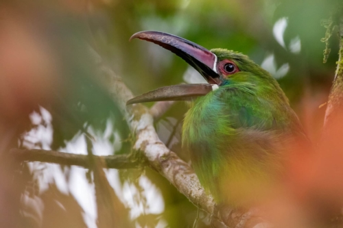 Crimson rumped toucanet oepning its beak