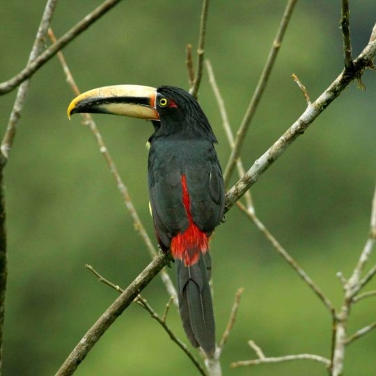Pale mandibled aracari toucan