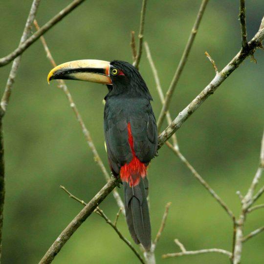 Pale mandibled aracari toucan