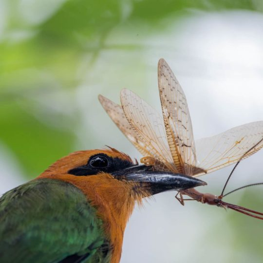 Rufous motmot eating