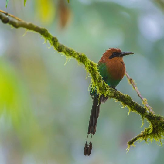 Rufous motmot at Mashpi forest