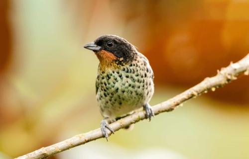 Rufous throated tanager