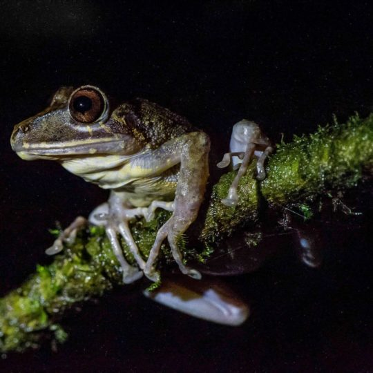 Stream tree frog