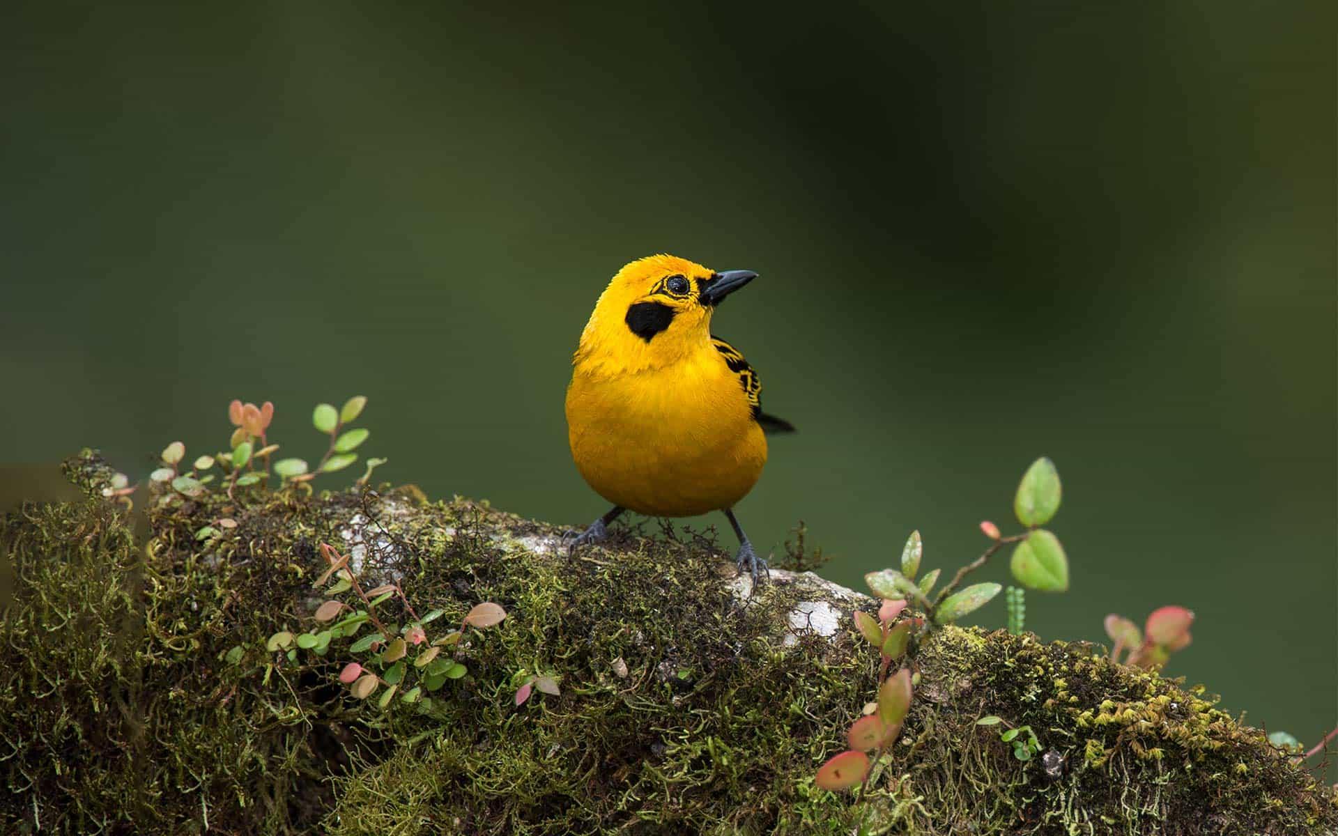 Tanager bird.