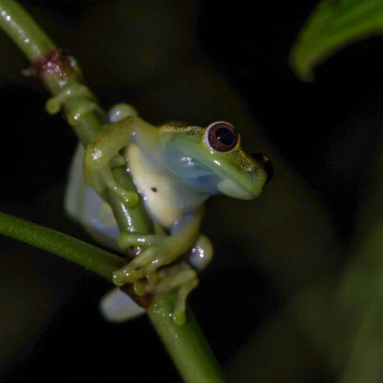Mashpi tree frog