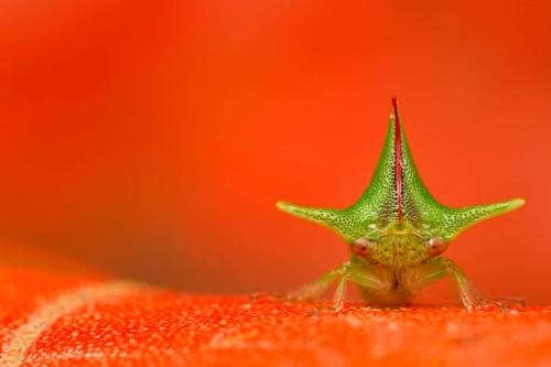 Treehopper at Mashpi