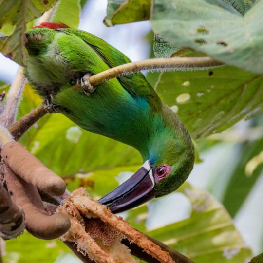 Crimson rumped toucanet upside down
