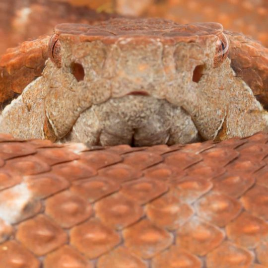 Viper from Mashpi