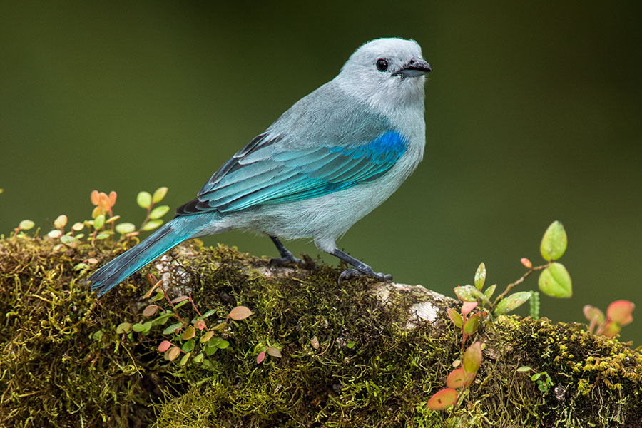 blue-grey-tanager-mashpi-lodge.jpg